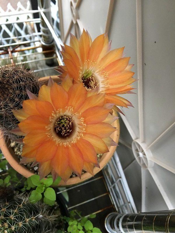 サボテン(短毛丸・ロビビアなど)どんどん花が咲いてます