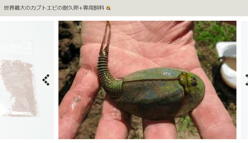 カブトエビリベンジ!世界最大のカブトエビ(トリオプス)飼育にチャレンジ!