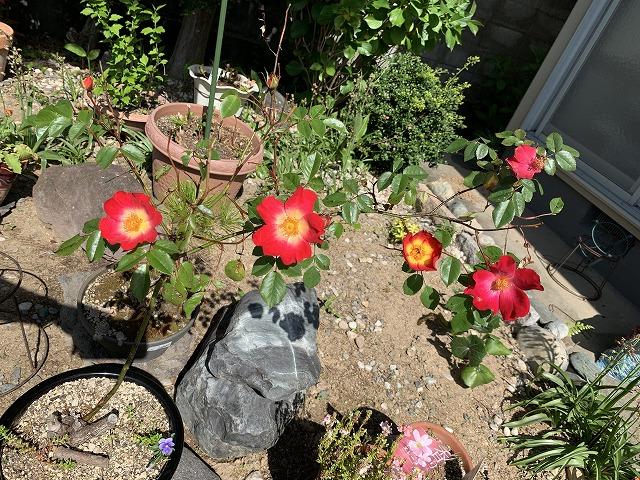 つるバラ カクテルの花が咲いた!育て方 剪定