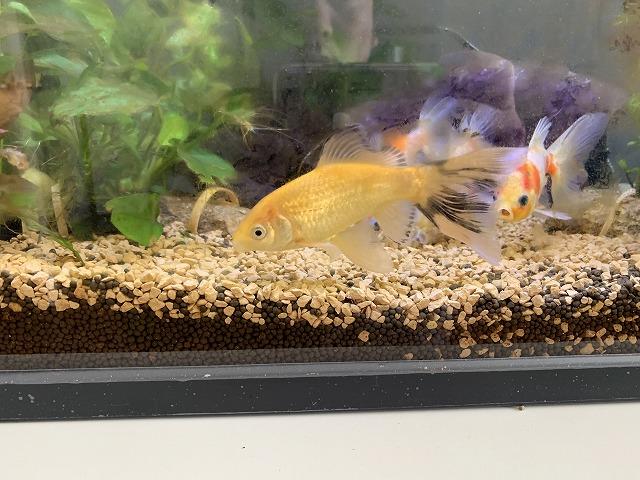 金魚水槽に新しい仲間が増えました!鉄魚です。